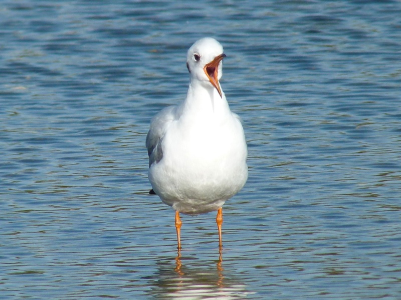 Black-headed Gull Preening, WWT Barnes05