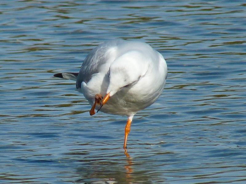 Black-headed Gull Preening, WWT Barnes07