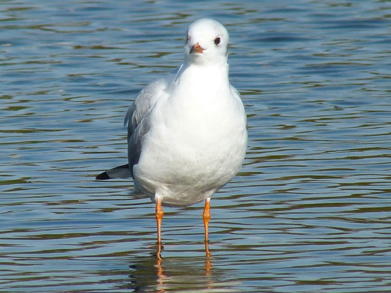 Black-headed Gull Preening, WWT Barnes08