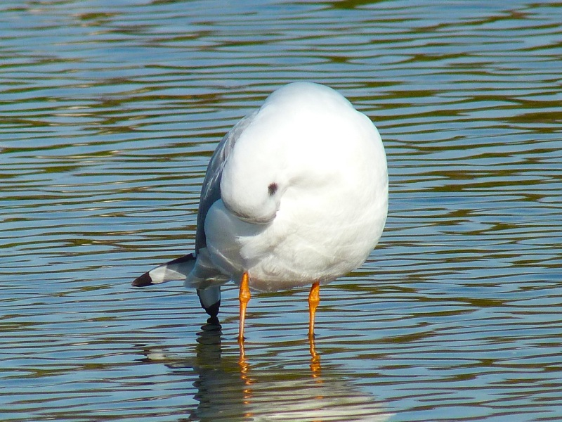 Black-headed Gull Preening, WWT Barnes09