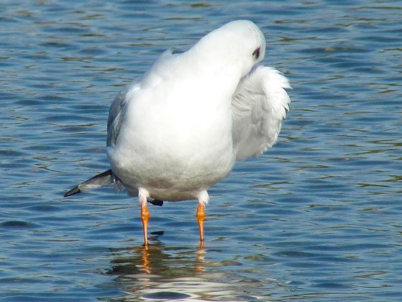 Black-headed Gull Preening, WWT Barnes14