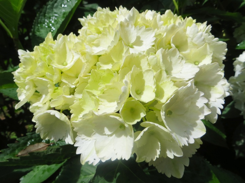 Hydrangeas, Trebah Gardens, Cornwall 10