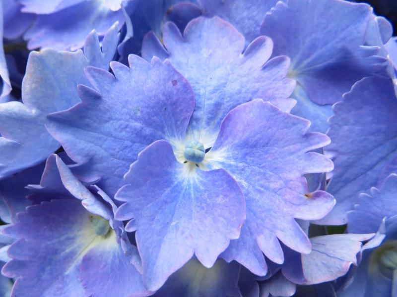 Hydrangeas, Trebah Gardens, Cornwall 12