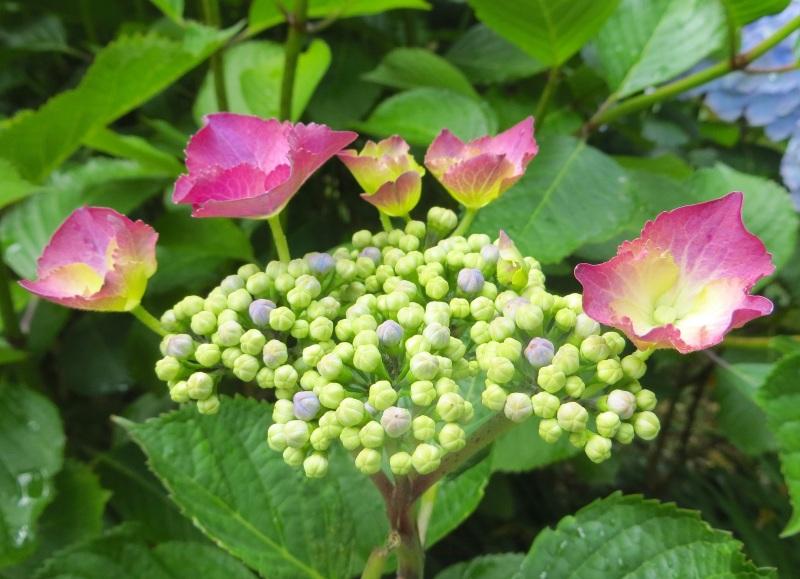Hydrangeas, Trebah Gardens, Cornwall 15