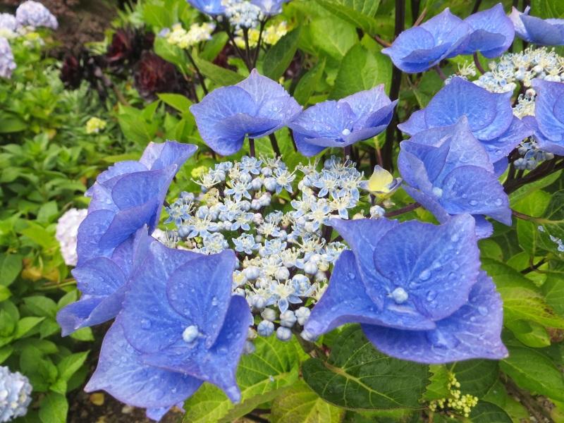 Hydrangeas, Trebah Gardens, Cornwall 3