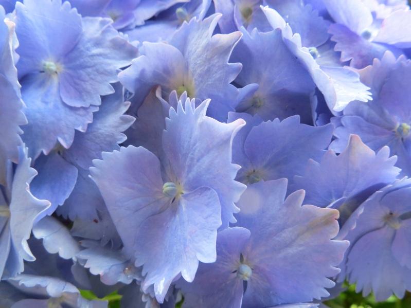 Hydrangeas, Trebah Gardens, Cornwall 5