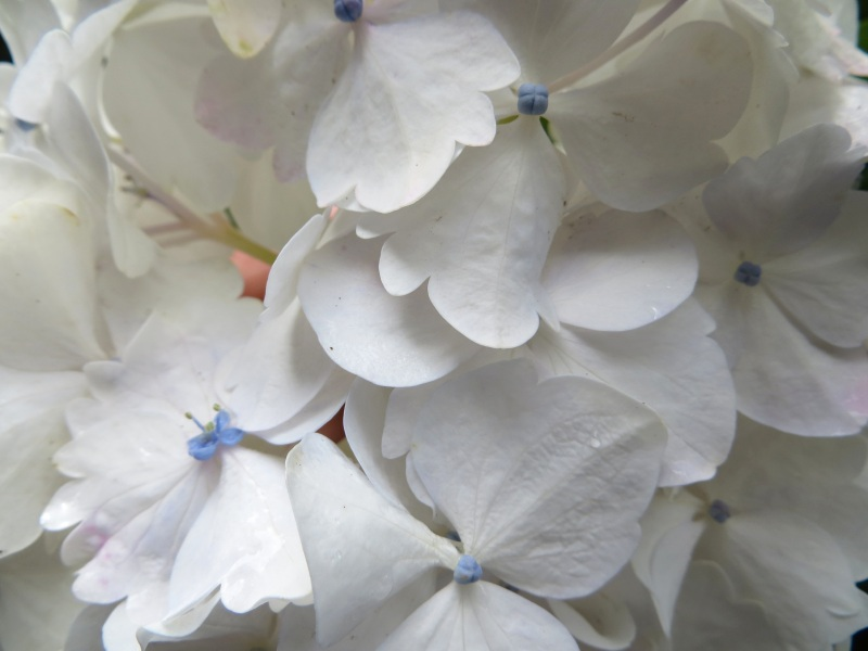 Hydrangeas, Trebah Gardens, Cornwall 7