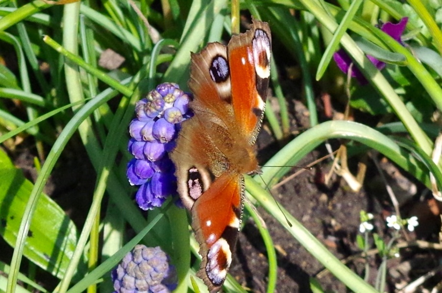 Peacock Butterfly Dorset 1