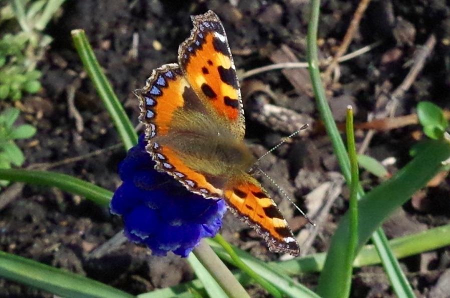 Tortoiseshell Butterfly Dorset 1