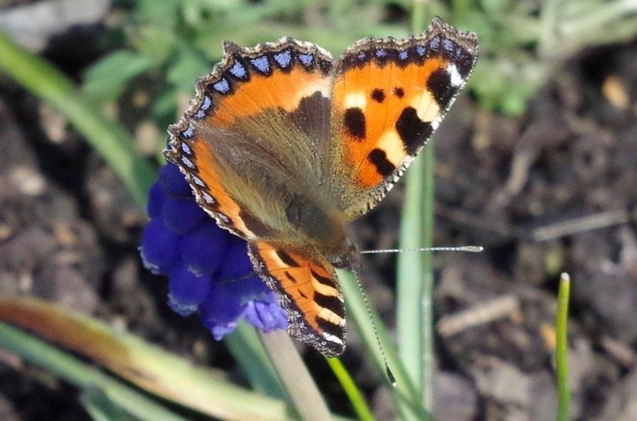 Tortoiseshell Butterfly Dorset 2