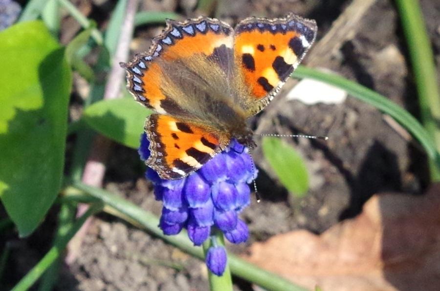 Tortoiseshell Butterfly Dorset 3
