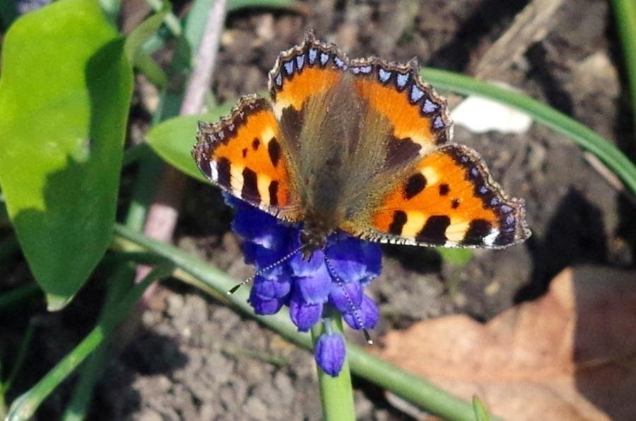 Tortoiseshell Butterfly Dorset 4