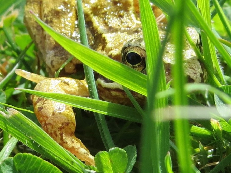 Frog Totnell 2015 1