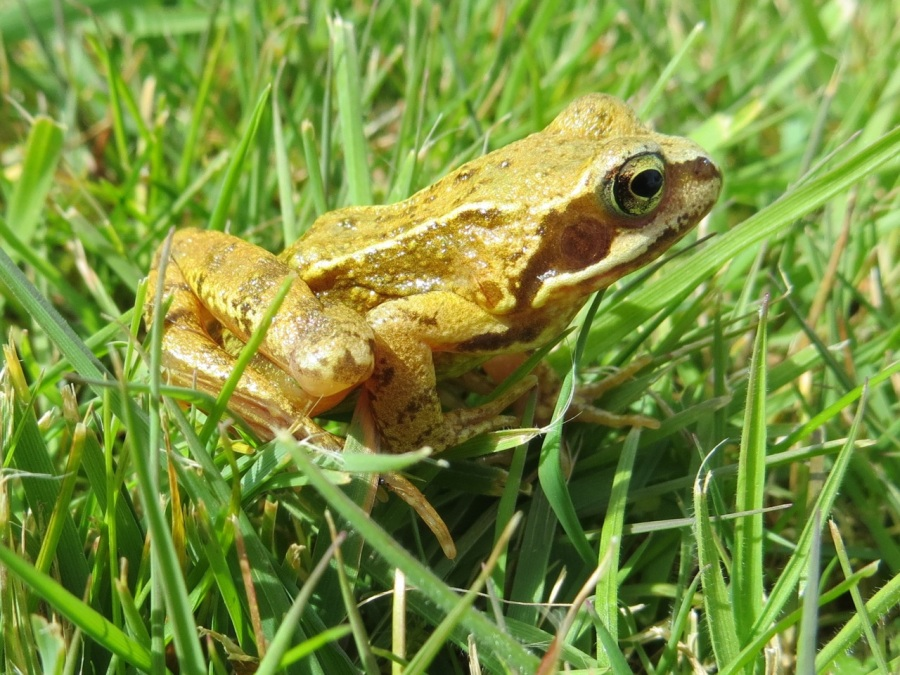 Frog Totnell 2015 10