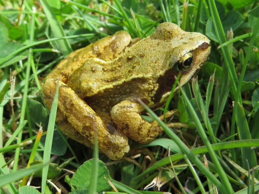 Frog Totnell 2015 2