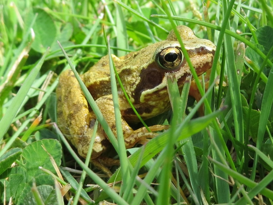 Frog Totnell 2015 3