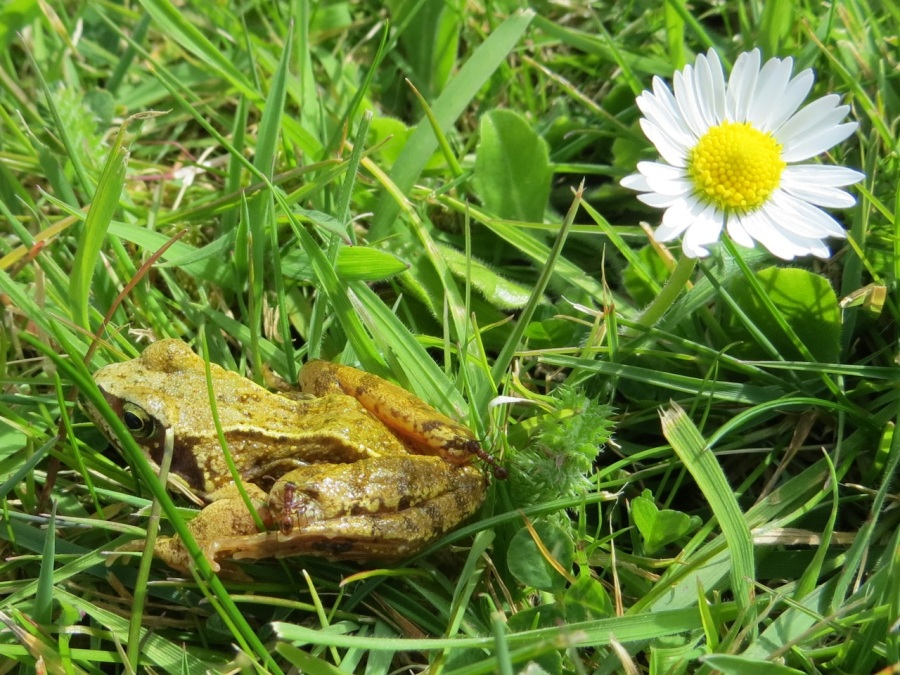 Frog Totnell 2015 4