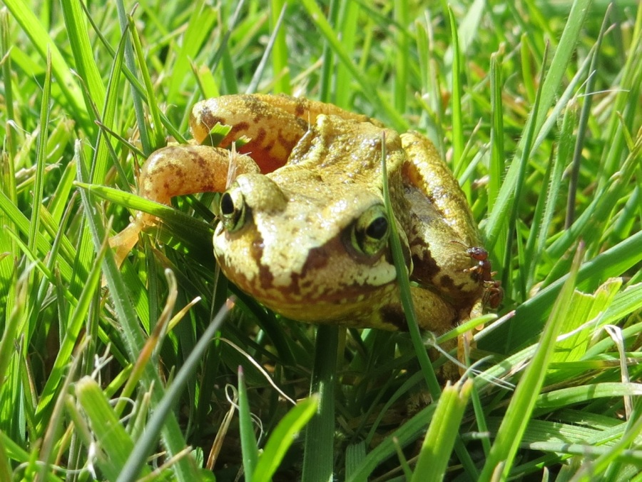 Frog Totnell 2015 5