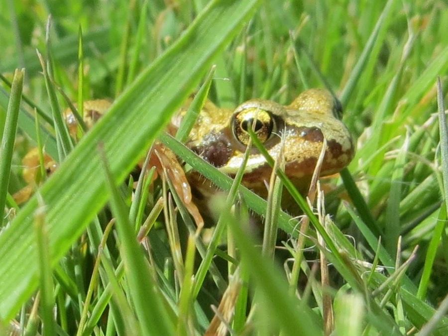 Frog Totnell 2015 6