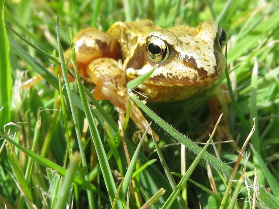 Frog Totnell 2015 7