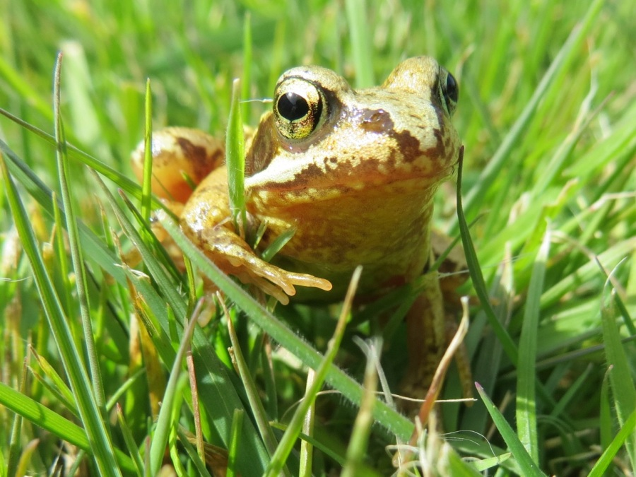 Frog Totnell 2015 8