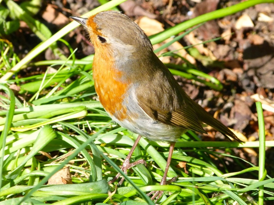 Garden Robin West London 1