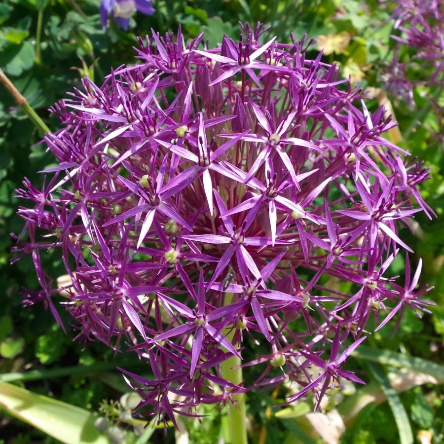 Allium Heads, Dorset