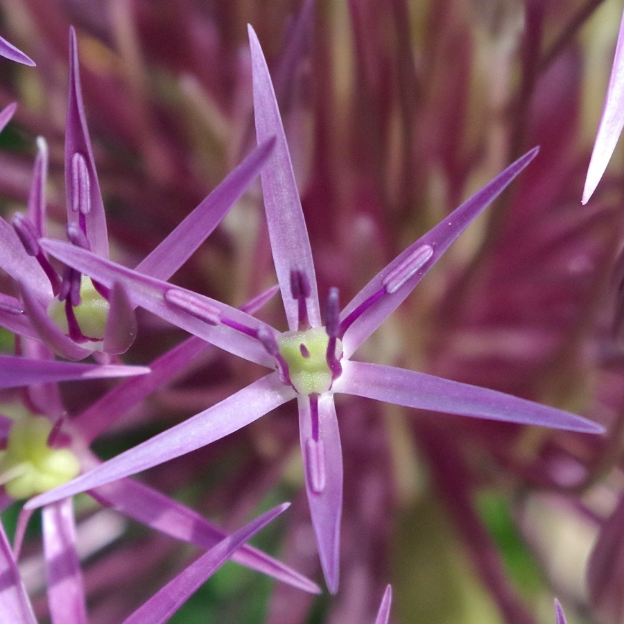 Allium Heads, Dorset