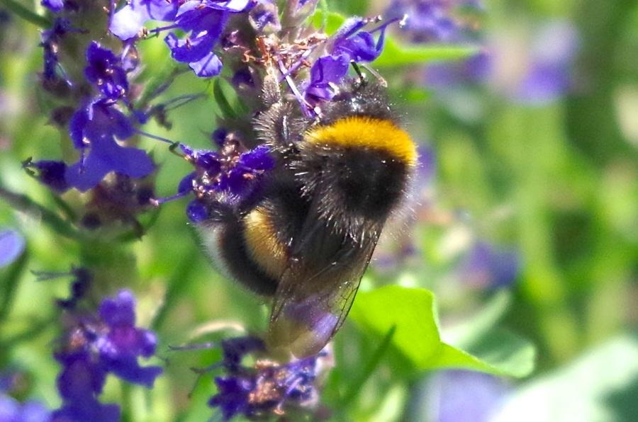 White-tailed Bumblebee (Bombus lucorum), Dorset