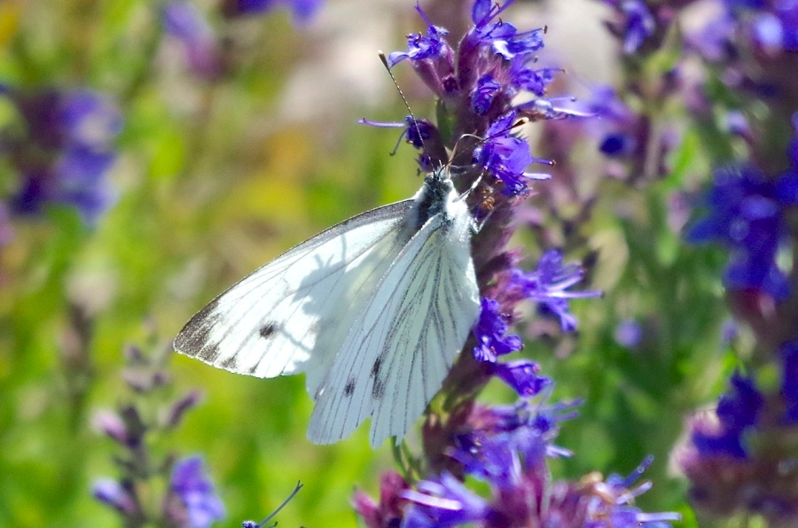 Green-veined white butterfly, Dorset