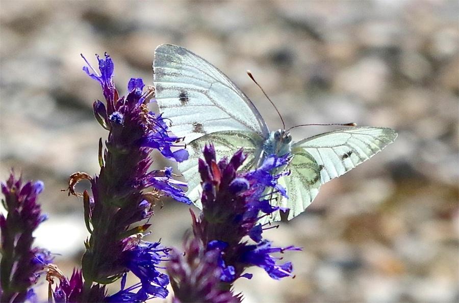 Green-veined white butterfly, Dorset