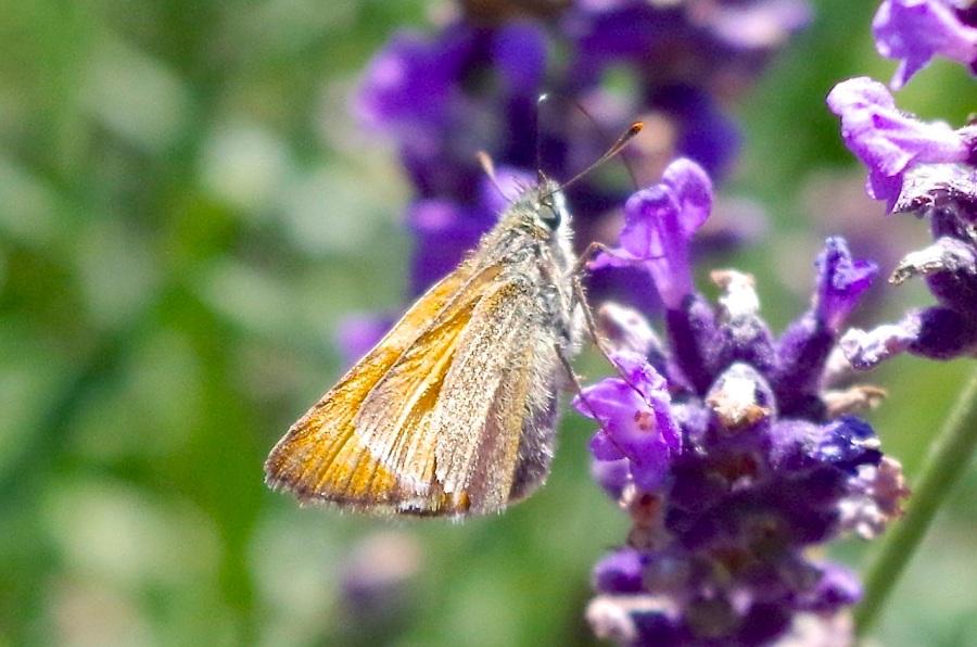 Skipper Butterfly, Dorset