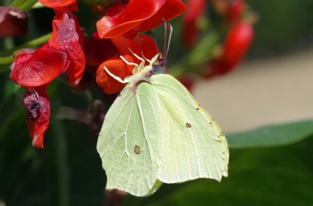 Brimstone Butterfly on Runner Bean Flowers, Dorset