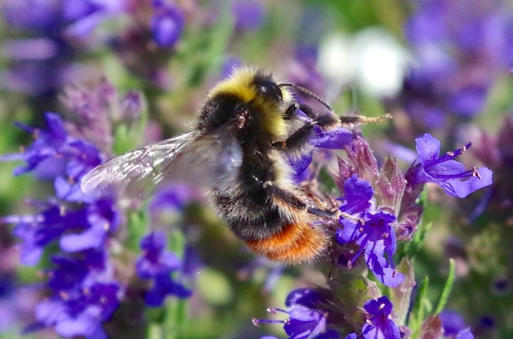 Red-tailed Bumblebee Bombus lapidarius, Dorset (Keith Salvesen)