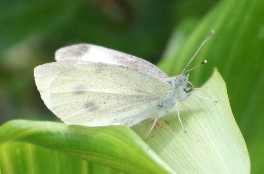 Large white butterfly, Dorset