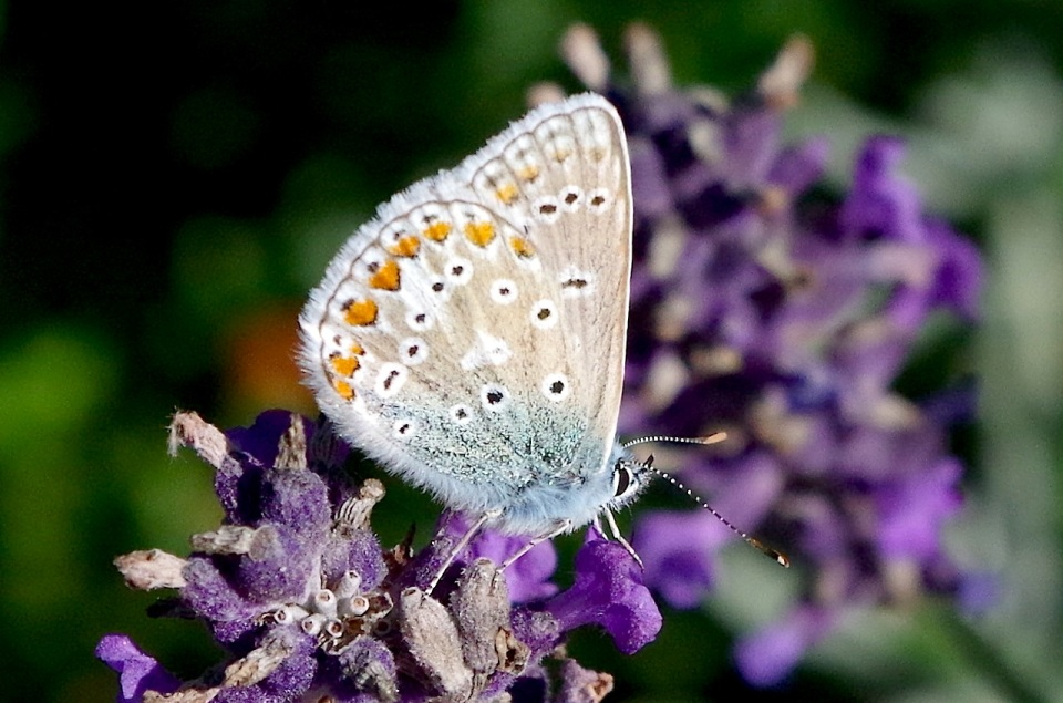 Common Blue Butterfly, Dorset 4