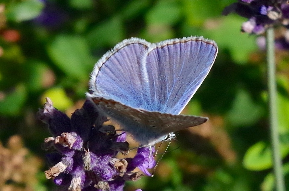 Common Blue Butterfly, Dorset 6