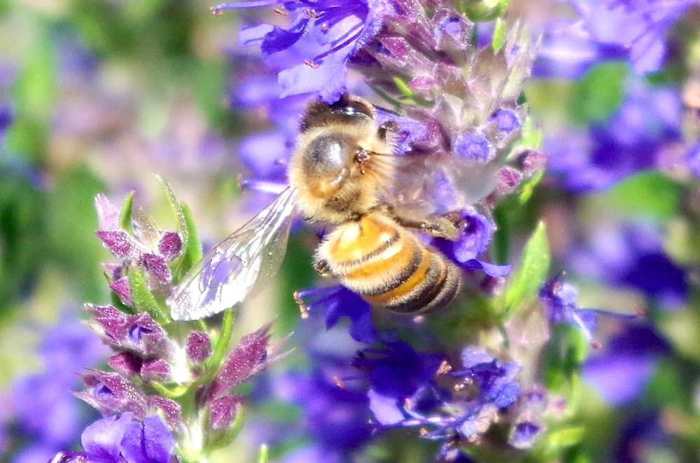 Dorset honey bee on Hyssop