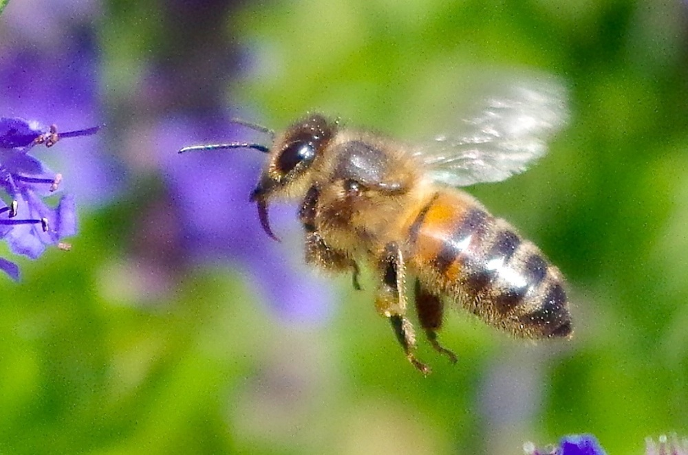 Dorset honey bee in flight