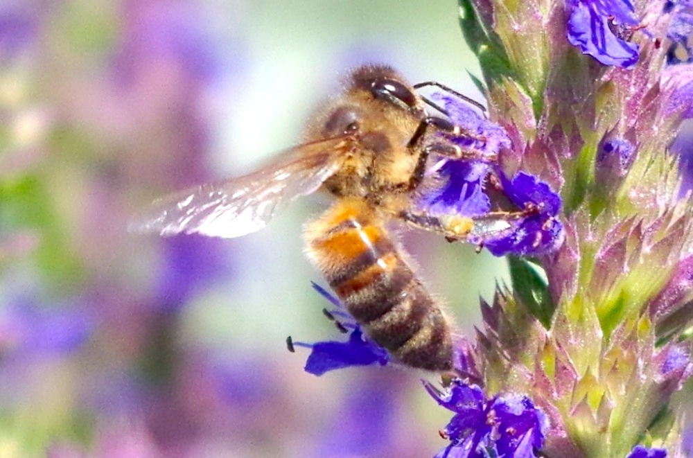 Dorset Honeybee on Hyssop