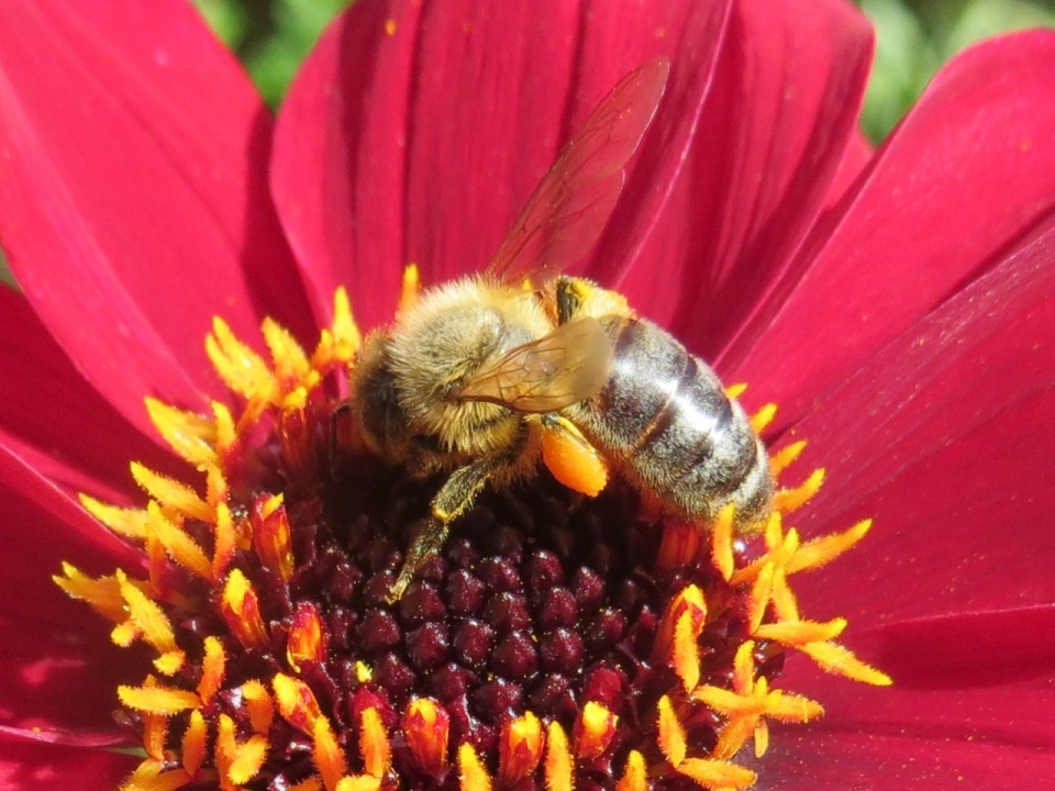 Late honey bee and dahlia1