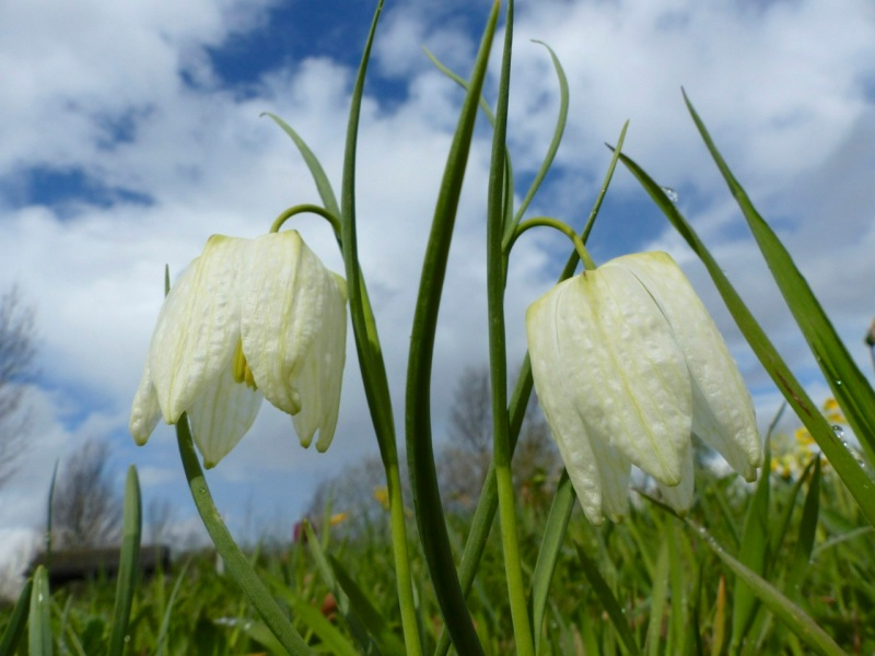 Fritillaries - snakeshead purple & white 01