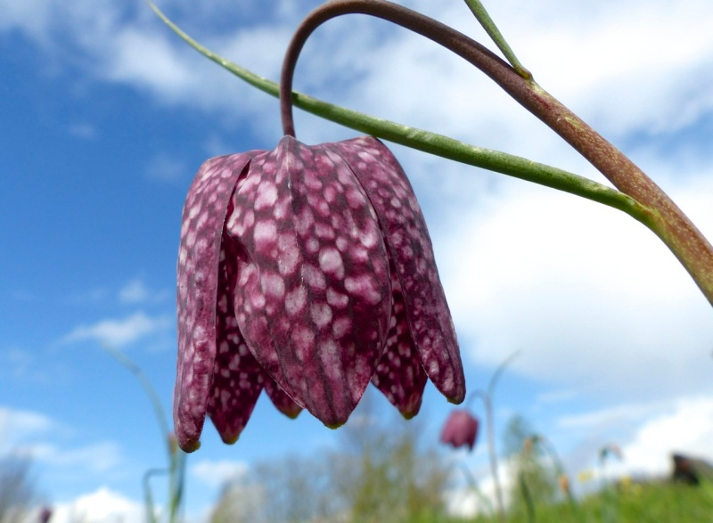 Fritillaries - snakeshead purple & white 07