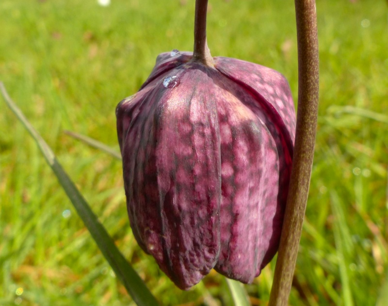 Fritillaries - snakeshead purple & white 11