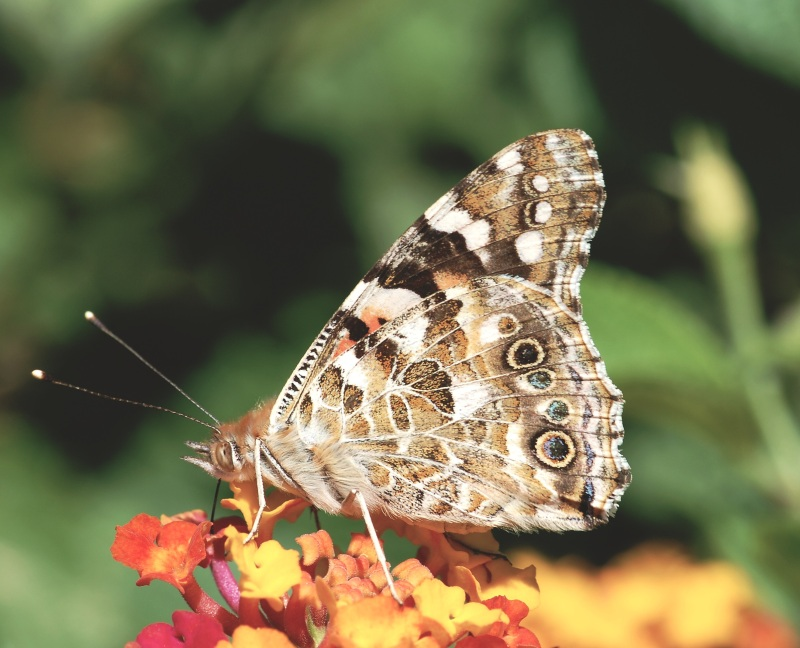 Painted Lady Butterfly underwings (wiki)