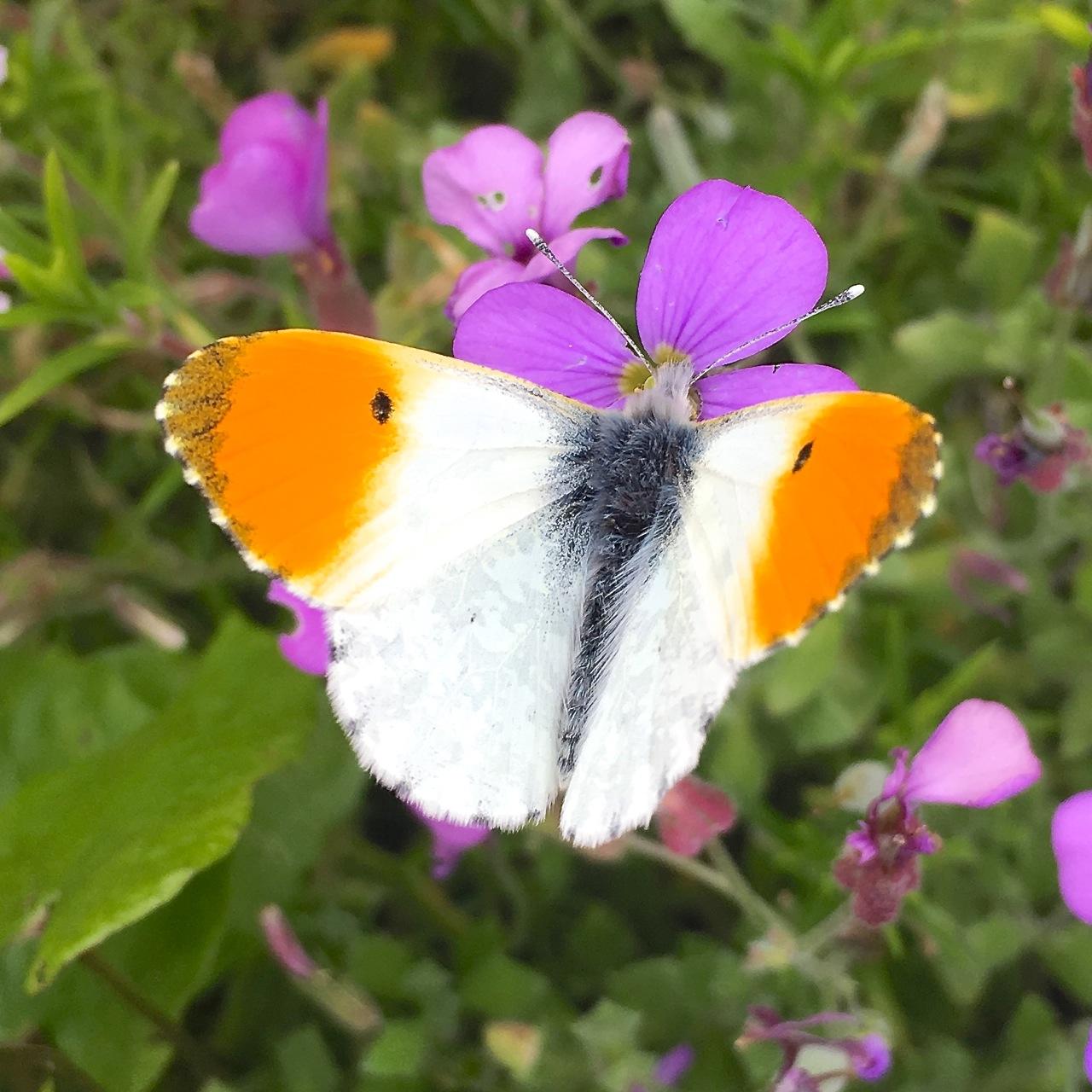 Orange Tip Butterfly, Dorset 1
