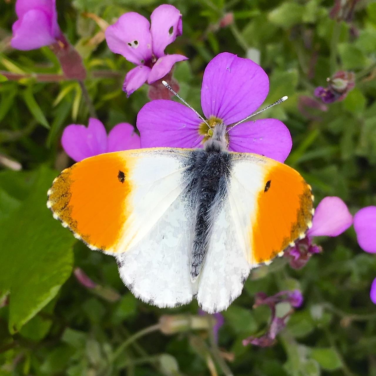 Orange Tip Butterfly, Dorset 3