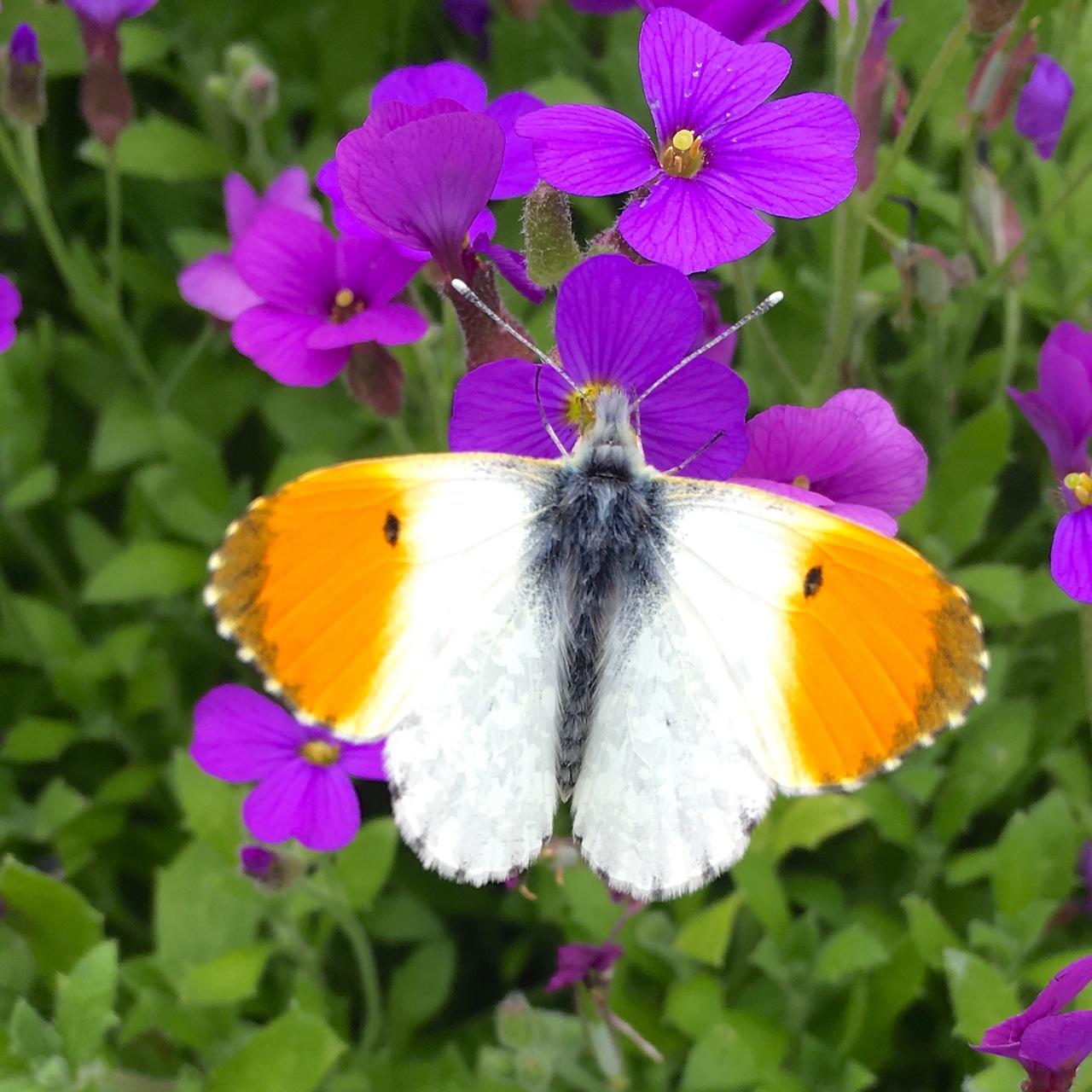 Orange Tip Butterfly, Dorset 4