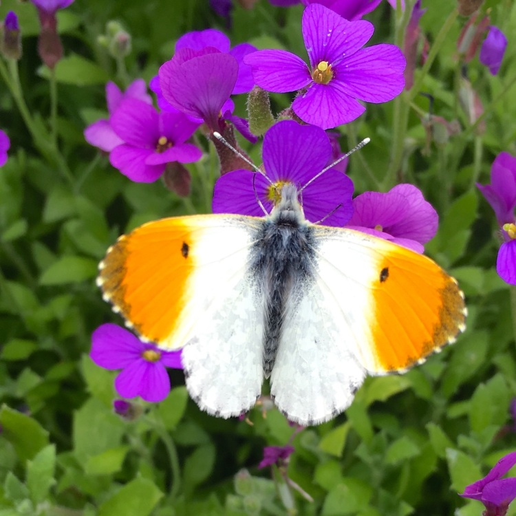 Orange Tip Butterfly, Dorset 4