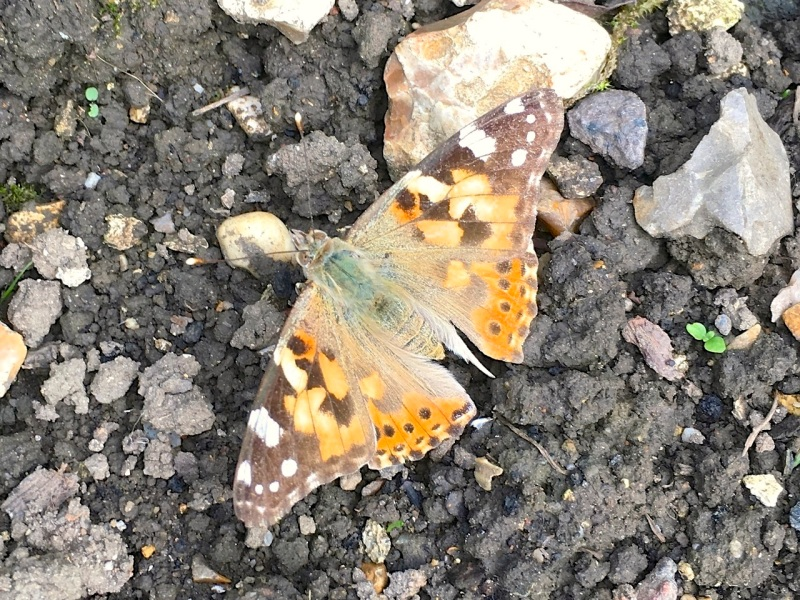 PAINTED LADY, DORSET 3